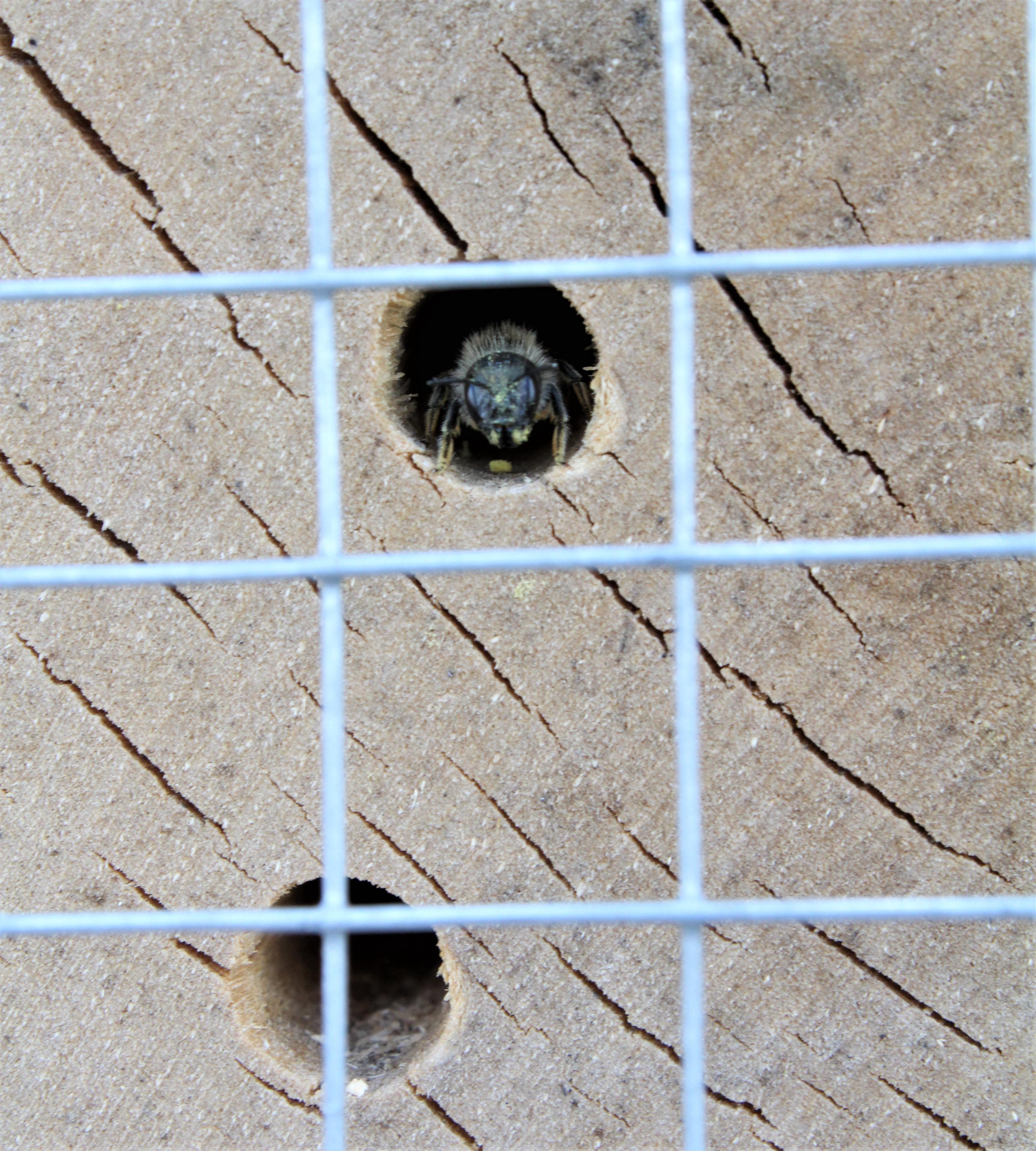 Dzika pszczoła podczas zamurowywania rurki lęgowej